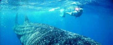 Swimming with Whale Shark Adventure